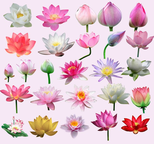 Edit Your free pictures: Indian Lotus (water lily) Clip.