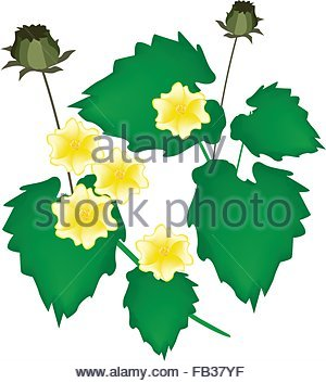 botany, Abutilon, (Abutilon), Indian Mallow, (Abutilon indicum.