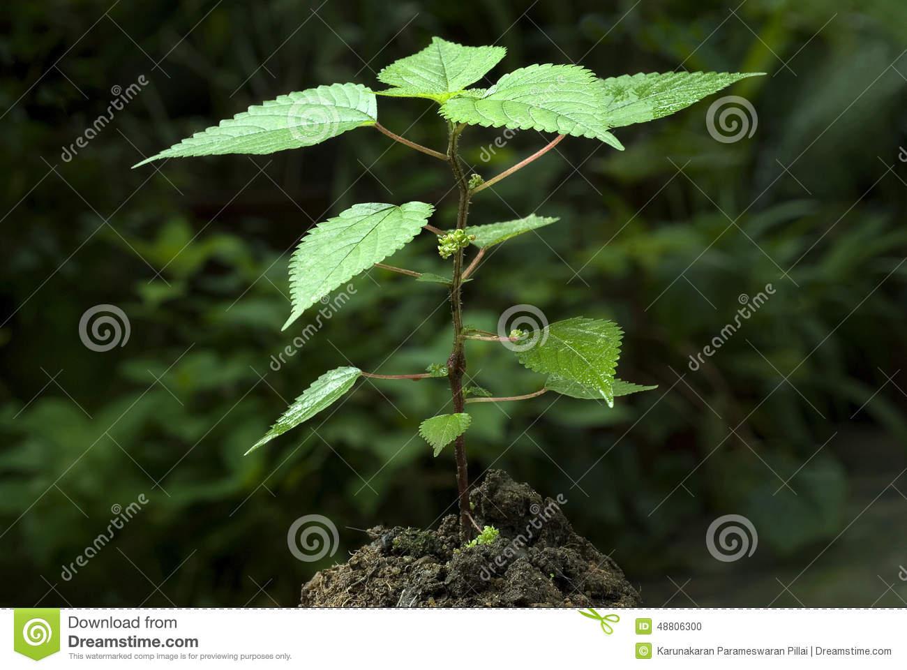 Stinging Nettle Plant.
