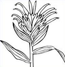 Free Indian Paintbrush Clipart.