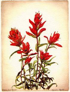 botanical drawing colorado indian paintbrush.