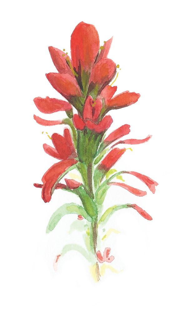 indian paintbrush watercolor painting.