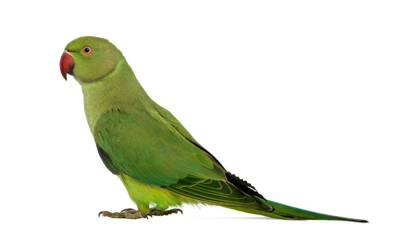 Indian Parrot Png Group (+), HD Png.