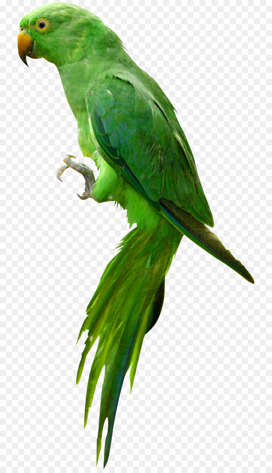 Parrot Bird.