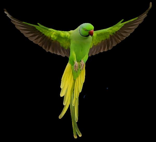 Parrots PNG Transparent Images.