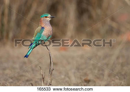 Stock Photo of Indian Roller on twig / Coracias benghalensis.