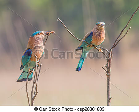 Stock Photography of Indian roller offering.