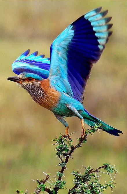 Indian roller bird, Coracias benghalensis, Sariska Tiger Reserve.