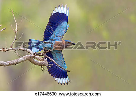 Stock Photography of INDIAN ROLLER x17446690.