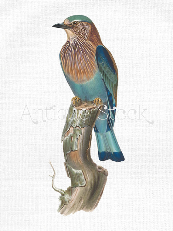 Digital Download Image 'Indian Roller' Bird on a by AntiqueStock.