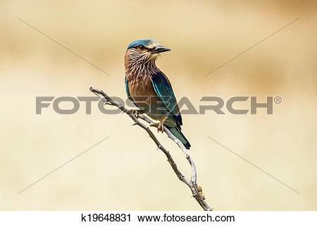 Stock Photography of Indian Roller k19648831.
