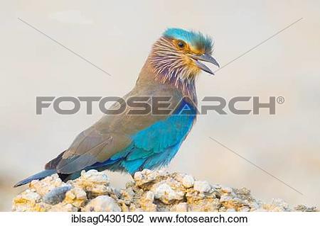 Stock Photo of Indian Roller (Coracias benghalensis), Qurayyat.