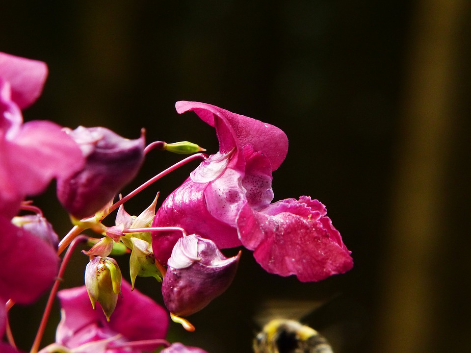 Free photo Flower Indian Springkraut Balsam Himalayan Balsam.