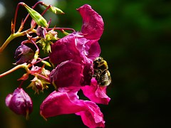 Free photo: Balsam, Himalayan Balsam.