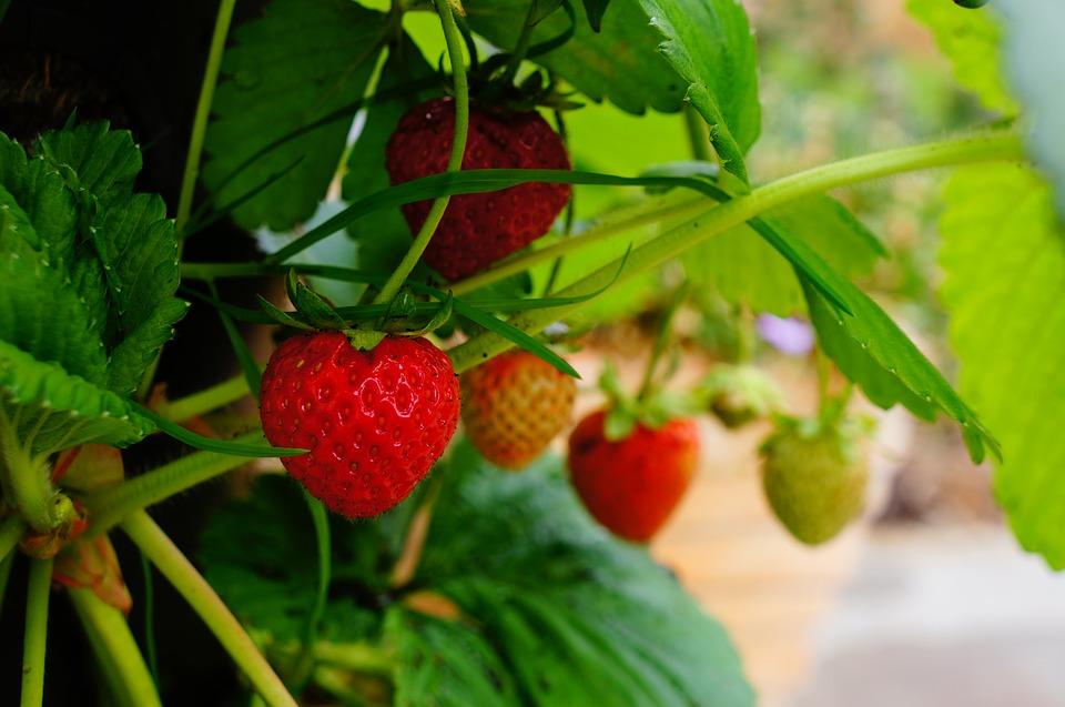 Strawberry, Plant.
