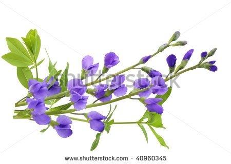 Indigo Flower Clipart.