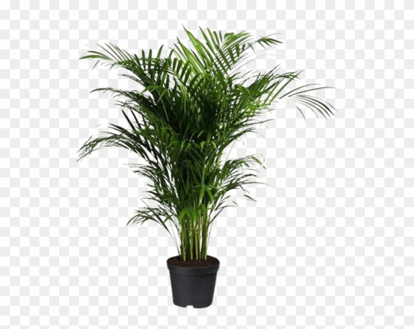 Indoor Palm Tree.