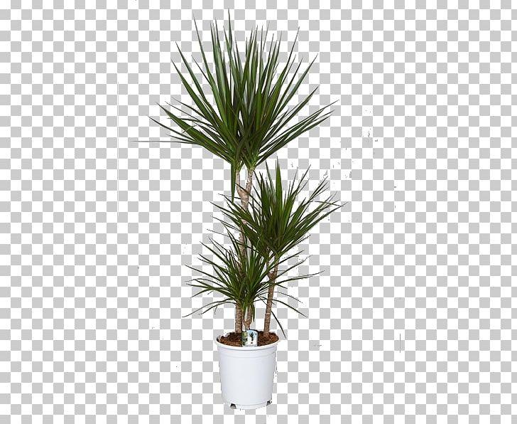 Dracaena Reflexa Var. Angustifolia Houseplant Indoor Plants Dragon.