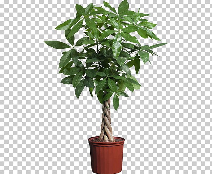 Guiana Chestnut Houseplant Indoor Plants Potted PNG, Clipart.
