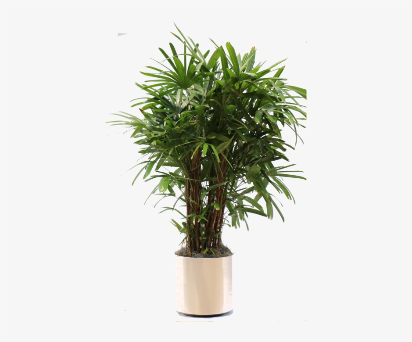 The Gallery For > Tall Indoor Plant Png.