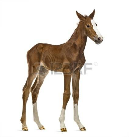 Baby Foal Stock Photos Images. Royalty Free Baby Foal Images And.