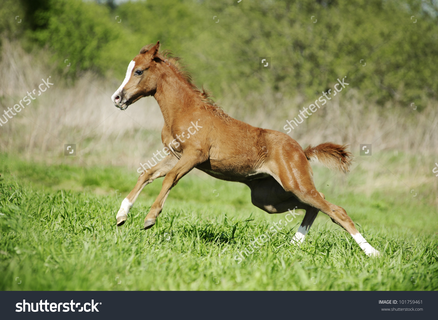 Little Baby Foal Playing On Field Stock Photo 101759461.
