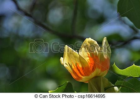 Stock Photographs of Tulip Tree (Liliodendron tulipfera.