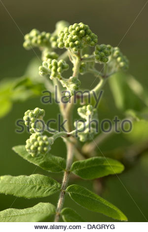 Inflorescence In Bud Stock Photos & Inflorescence In Bud Stock.