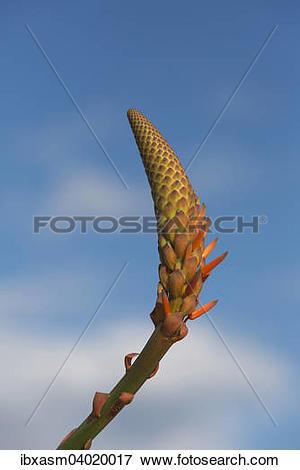 """Picture of """"Aloe Vera (Aloe vera), inflorescence, Portugal, Europe."""
