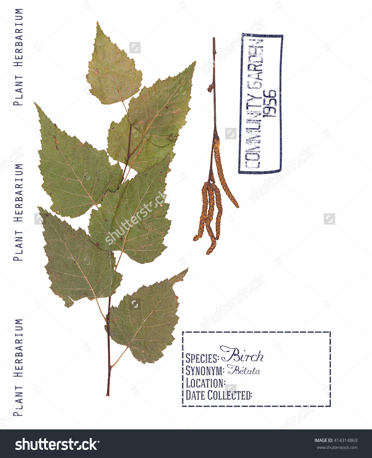 Herbarium Of Pressed Parts Of Birch Tree. Leaves, Branch And.