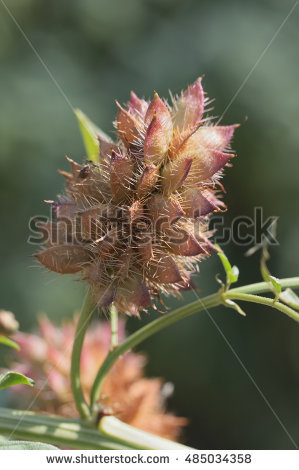 "glycyrrhiza_glabra"" Stock Photos, Royalty."