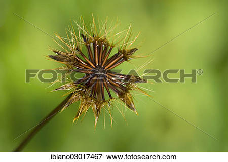 "Picture of ""Cat's Ear, Flatweed or False Dandelion (Hypochaeris."