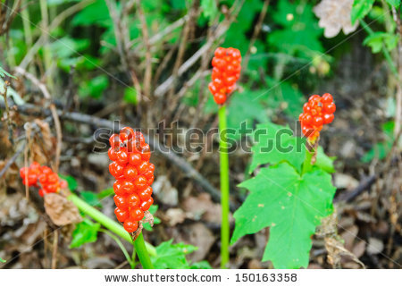 Infructescence Stock Photos, Images, & Pictures.