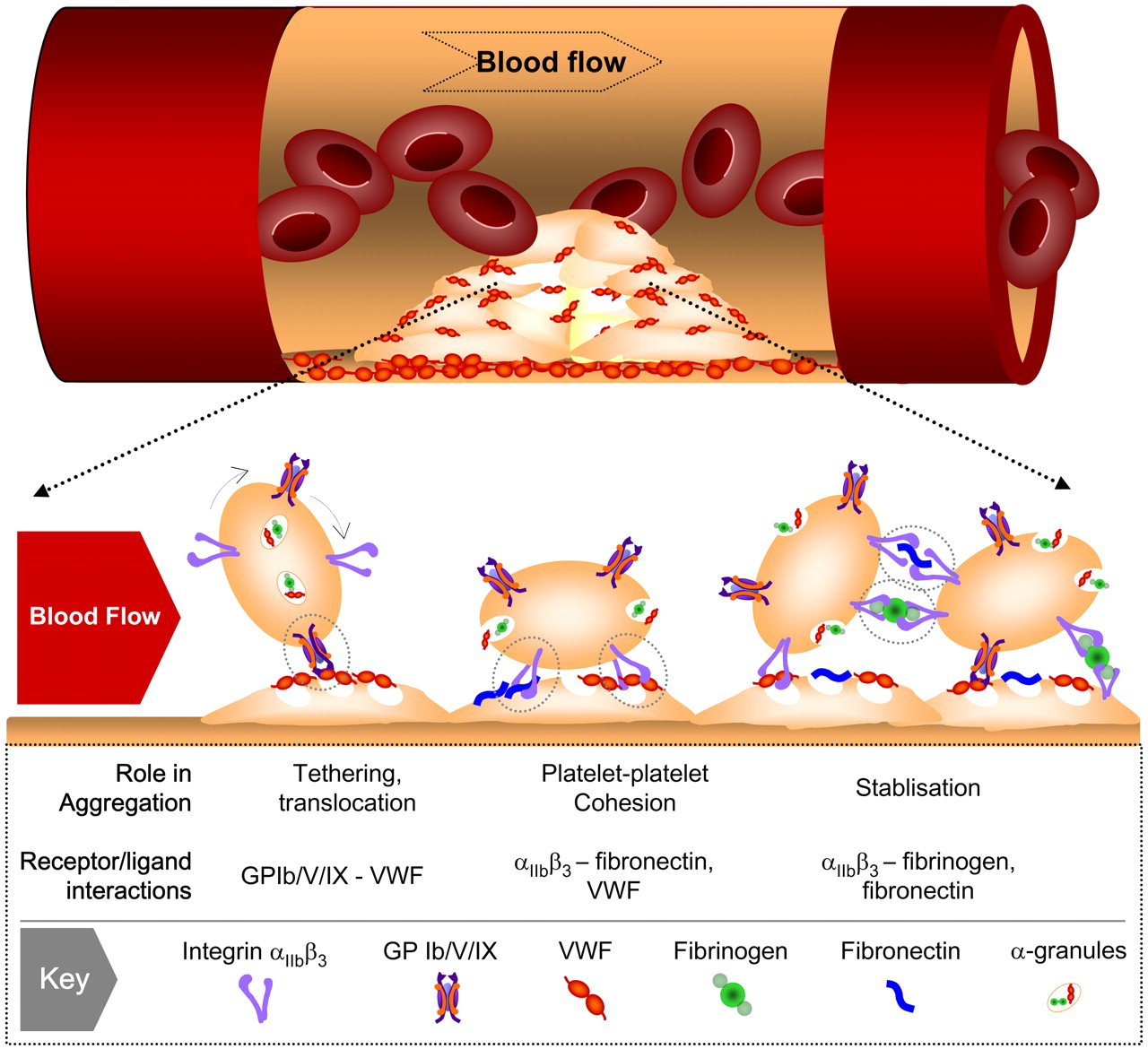 The growing complexity of platelet aggregation.