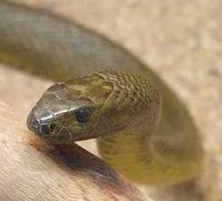 Inland taipan, most venomous snake in the world.
