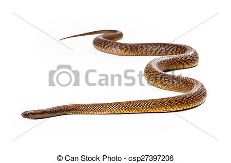 Stock Photography of Inland Taipan Snake Moving Forward.