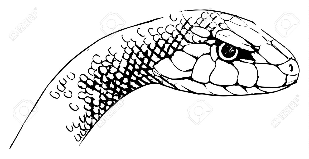 Illustration Of Oxyupanus Microlepidotus.