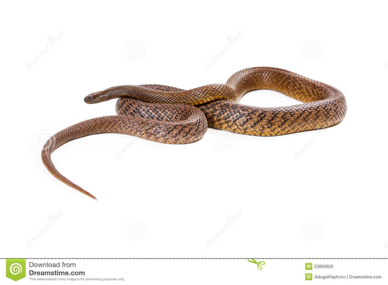 Inland Taipan Snake Coiled Up Stock Photo.