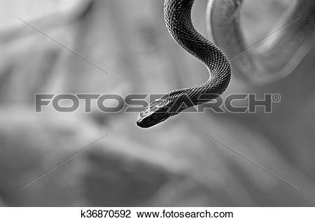 Stock Photo of The Inland Taipan the most venomous land snake in.