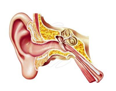 Inner ear clipart.