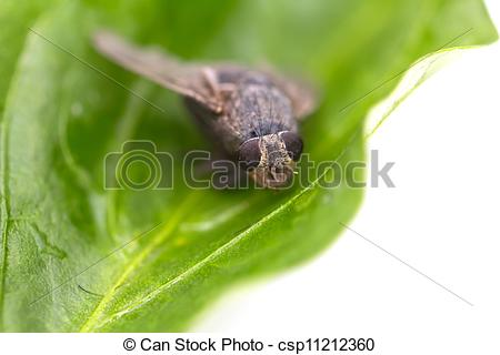 Stock Illustration of insect fly macro on leaf csp11212360.