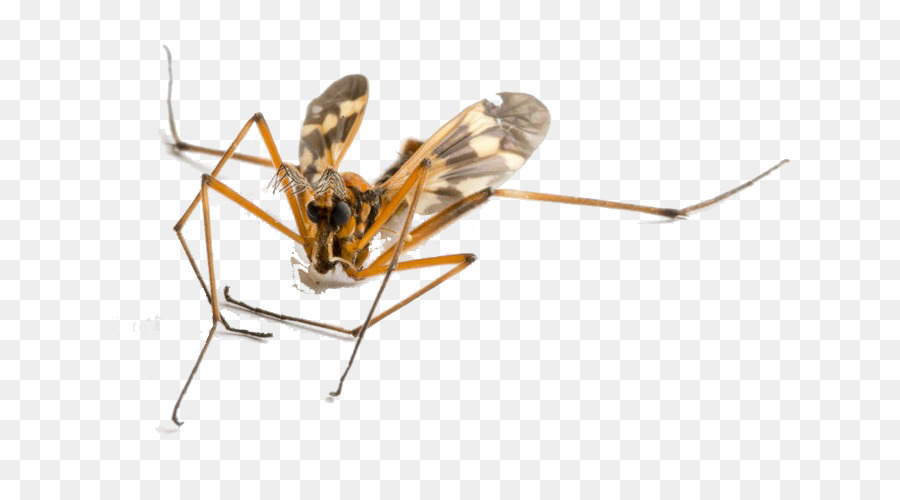 Insect Insect png download.