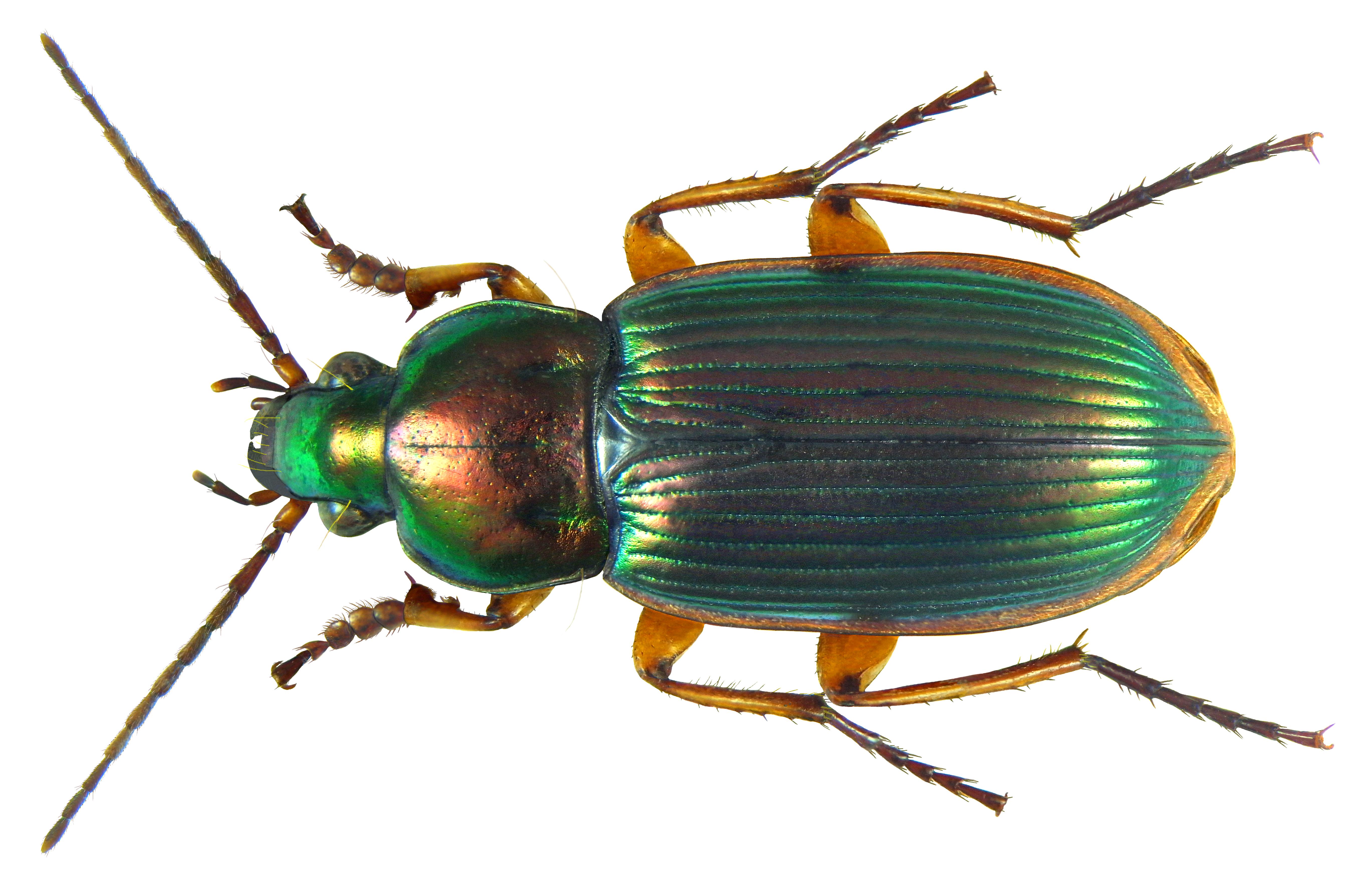 File:Chlaenius (Amblygenius) Rufomargina #22330.