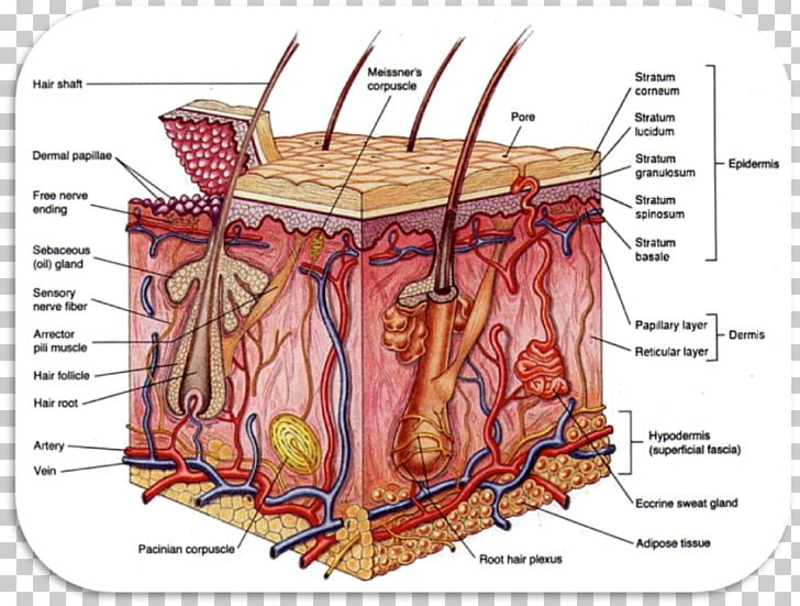 Integumentary System Anatomy Organ System Human Body PNG, Clipart.