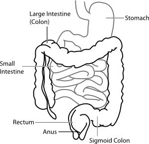 Intestine Diagram Clip Art at Clker.com.