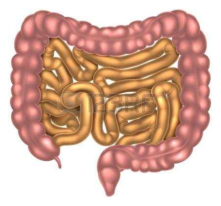 1,836 Intestinal Stock Vector Illustration And Royalty Free.