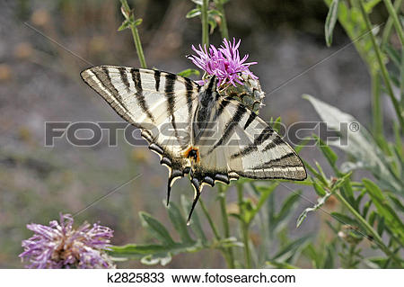 Stock Photo of Scarce Swallowtail (Iphiclides podalirius) k2825833.