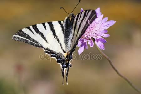ClipArt fjäril iphiclides podalirius på vit bakgrund.
