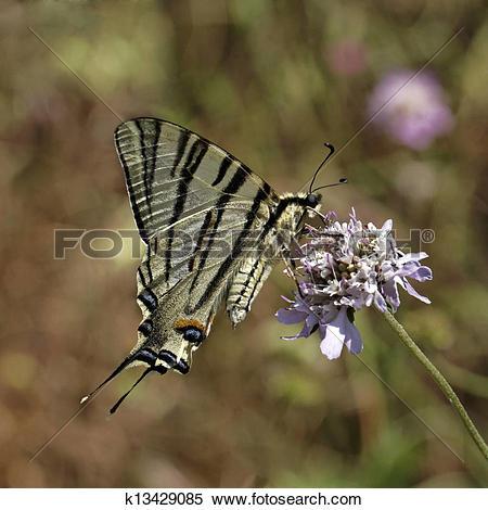 Stock Image of Scarce swallowtail, Iphiclides k13429085.