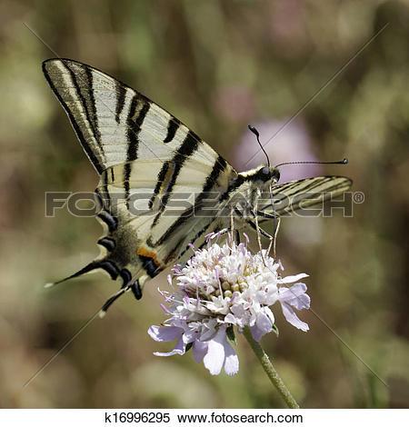 Stock Image of Iphiclides podalirius, Scarce swallowtail k16996295.